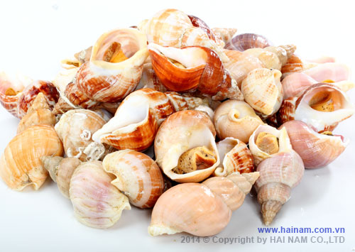 Whelk meat<br />Latin name: Chlamys opercularis