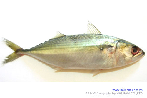 Indian mackerel WGGS<br />Latin name: Rastrelliger kanagurta<br />Size: U 10, 10-12 pcs/kg