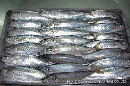 Whole round scad<br />Latin name: Decapterus macrosoma<br />Size: 80-90, 90-100, 100-110 pcs/block 10kg