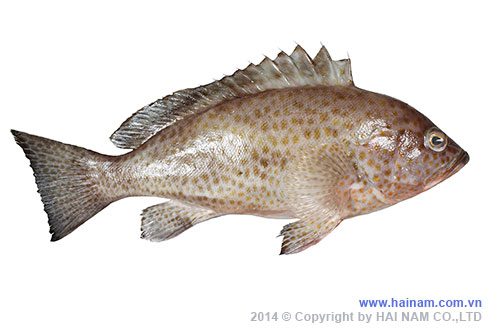 Grouper WGGS<br />Latin name: Epinephelus spp<br />Size: 300-500gr, 500-700gr, 700-1000gr, 1000gr up<br />