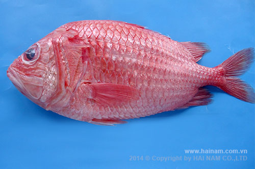 Red squirrel fish  WGGS<br />Latin name: Sargocentron rubrum<br />Size: 200-300gr, 300-500gr, 500-700gr, 700-1000gr